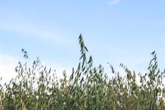 金黄麦子收获在领域的 免版税图库摄影