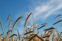 金黄麦子收获在领域的 免版税库存照片