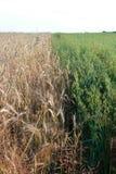 金黄麦子收获在领域的 库存照片