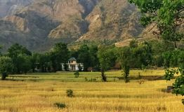 金黄麦子收获有机印地安种田在遥远的喜马拉雅山 免版税库存图片