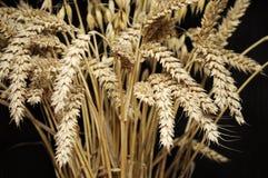 金黄麦子耳朵特写镜头  库存图片