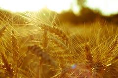 金黄麦子耳朵的领域在如此晴朗的天空的背景的 库存照片