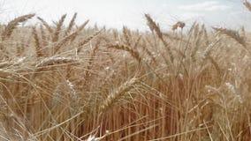 金黄麦子耳朵行在一个大领域成熟了 影视素材