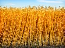 金黄麦子 免版税库存图片