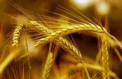 金黄麦子 库存照片