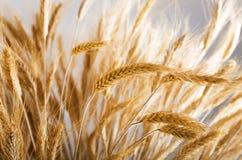 金黄麦子 库存图片