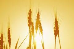金黄麦子 免版税库存照片