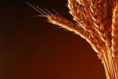 金黄麦子 免版税图库摄影