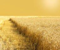 金黄麦田在收获期间的晚夏 收获 谷物领域 库存图片