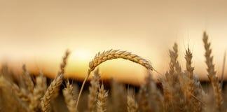 金黄麦田在早晨 库存图片