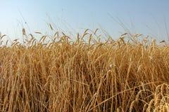 金黄麦田 自然美好的风景  耳朵 免版税库存图片