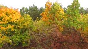 金黄黄色树在秋天森林里 股票视频