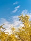 金黄黄色树在秋天的一个公园与蓝天 库存照片