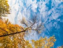 金黄黄色树在秋天的一个公园与蓝天 图库摄影