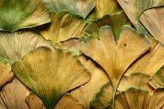 金黄黄色秋天银杏树biloba叶子 库存图片