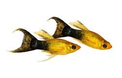 金黄黑Lyretail娘娘腔的男人Poecilia latipinna水族馆鱼 免版税库存照片