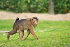 金黄鼓起的白眉猴猴子在动物园里 免版税库存图片