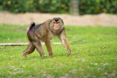 金黄鼓起的白眉猴猴子在动物园里 库存照片