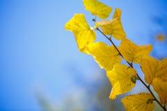 金黄,黄色和桔子在天空离开 秋天背景特写镜头上色常春藤叶子橙红 库存图片