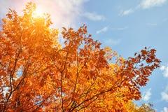 金黄,黄色和桔子离开在从蓝天的光束下 秋天背景特写镜头上色常春藤叶子橙红 免版税库存照片