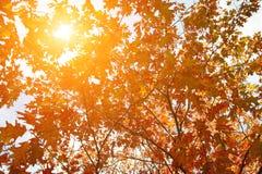 金黄,黄色和桔子离开在从蓝天的光束下 秋天背景特写镜头上色常春藤叶子橙红 免版税库存图片