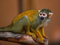 金黄头发猴子 库存照片