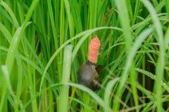 金黄Applesnail和鸡蛋在绿色米调遣 米领域的敌人 免版税库存图片