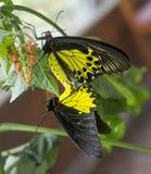 金黄birdwing的蝴蝶 配对 库存图片