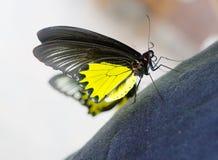 金黄birdwing的蝴蝶 图库摄影