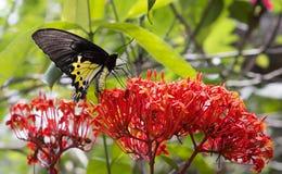 金黄birdwing的蝴蝶 库存图片