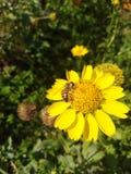 金黄crownbeard & x28;Verbesina encelioides& x29; 免版税库存照片