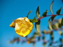 金黄hookerianum金丝桃属植物莲花 免版税库存照片