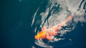 金黄koi鱼在池塘 库存照片