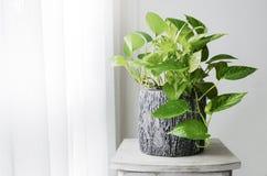 金黄pothos或常绿藤本植物aureum在窗口在卧室 免版税库存照片