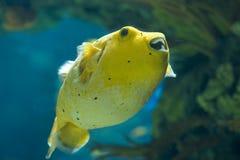 金黄pufferfish 图库摄影