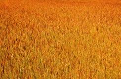 金黄wheatfield 免版税图库摄影