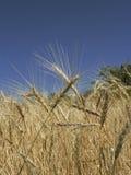 金黄wheaties 库存照片