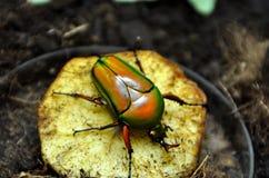 金龟子甲虫 免版税库存照片