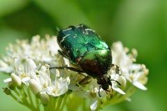 金龟子甲虫(Cetonia aurata) 免版税库存照片
