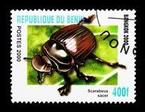 金龟子甲虫(Scarabeus sacer), serie,大约2000年 图库摄影