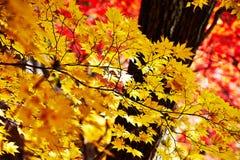 金黄七片角度槭树叶子 免版税库存照片