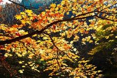 金黄七片角度槭树叶子 库存图片