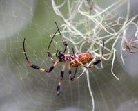 金黄丝绸天体织布工蜘蛛 库存照片