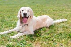 金黄公园猎犬 图库摄影