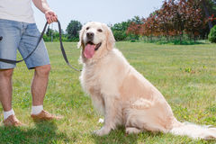 金黄公园猎犬 免版税库存图片