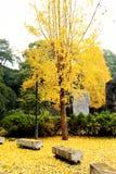 金黄叶子和树在长沙市 免版税库存照片