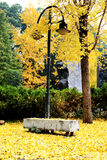 金黄叶子和树在长沙市 库存图片