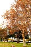 金黄叶子和树在长沙市 库存照片