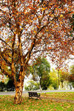 金黄叶子和树在长沙市 免版税图库摄影