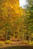 金黄叶子在公园在10月,布拉索夫,斯洛伐克盖了森林道路 免版税库存照片